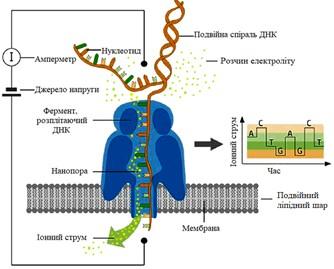 Принцип нанопорового секвенування ДНК